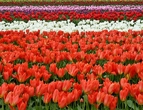 Field Of Tulips-Qualität Schweres Mauspad 24x 19cm Le Top Tulip