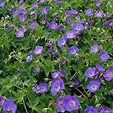 Storchschnabel 'Rozanne®' (Geranium Hybride) - 1 Pflanze