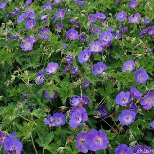 OBI Blaue Blüten