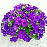 Rowentauk Petunia Samen 100 stücke/Beutel Petalia Blumensamen, mehrjährige Bonsai Topfpflanze Multiflora Für Hausgarten Einfach Zu Wachsen