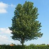 Populus alba (Pioppo Bianco), 120/170 cm