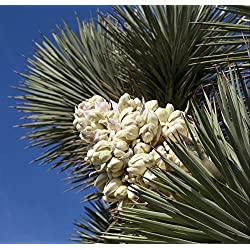 50 Exotic Joshua Tree Seeds! Yucca brevifolia, baccata var. Palme, Kalter Hardy