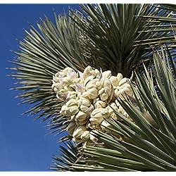 35 Mature Joshua Tree Samen, Yucca brevifolia, baccata var. Palm, Kalter Hardy