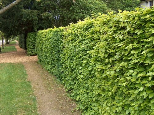 8-x-5-6-ft-tall-instant-hedge-grade-a-green-beech-semi-evergreen-bare-root-plants
