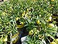 Zitronenbaum Bonsai Zitrone Citrus limon 25-35 cm Zitruspflanze von JH Gruenwaren GmbH & Co. KG - Du und dein Garten