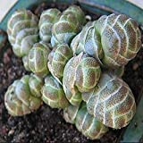 New Fresh Rare CRASSULA columnaris Seed bonsai Succulent Plant Flower Seeds – 10pcs/lot