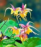 BALDUR-Garten Epimedium 'Fire Dragon',2 Pflanzen Elfenblume Staude des Jahres 2014