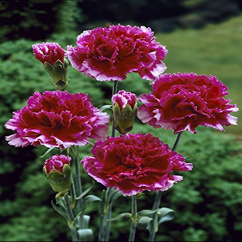 Gartennelke rot - 12 pflanzen