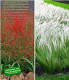 BALDUR-Garten Ziergras-Kollektion, 6 Pflanzen 3 Pflanzen Rotes Liebesgras und 3 Pflanzen Federgras (Stipa)