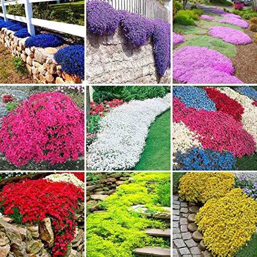 Cioler Seed House - 100 Pcs Pierre Herbe Fleurs Graines Rare Oie Cresson Arabis Graines Fleur Mer Hiver Hardy Plantes Vivaces pour Home Garden