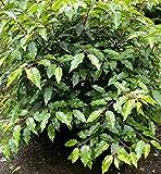 Portugiesische Lorbeerkirsche Angustifolia 60-80cm - Prunus lusitanica