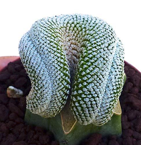 Bio-Saatgut Nicht nur Pflanzen: Pelecyphora aselliformis SUPER !!! unglaublicher Beleg Nicht Bunte 100 Samen durch FäHRE