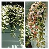 PLAT FIRM GERMINATIONSAMEN: Dischidia Ovata & Oiantha variegata cuttings - einer (1), die jeweils, 8