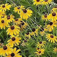 PlenTree 2000 Sweet Seeds Susan Negro-Observada de flores silvestres nativas