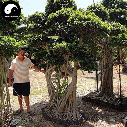 Kaufen Ficus Concinna Baumsamen 200pcs Pflanze Ficus benjamina Baum Xiao Ye Rong