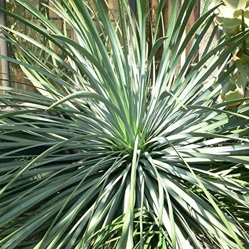 Portal Cool Yucca whipplei (Hesperoyucca) - Anlage geliefert in 9cm Topf