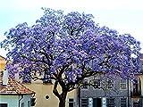 Paulownia Shan Tong Blauglockenbaum Enormer Wuchs bis 2 Meter pro Jahr Frosthart bis -23 Grad Orchideenartige Blüten