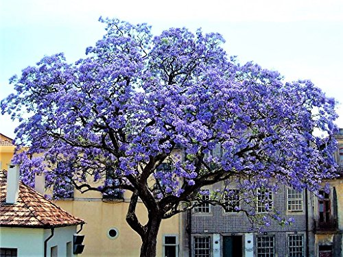 Paulownia Shan Tong Blauglockenbaum Enormer Wuchs bis 2 Meter pro Jahr Frosthart bis -23 Grad Orchideenartige Blüten