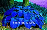 100pcs / bag piante Hosta, Hosta 'Whirl Wind', fiore hosta, semi di fiori, bonsai semi di erba, piante ornamentali fai da te per il giardino di casa