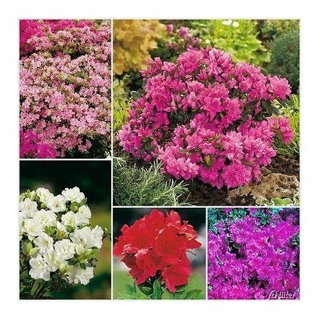 8-pack-dwarf-azaleas-mixed-plants-garden-shrub-in-9cm-pots-evergreen-choose-your-own-from-the-list-i