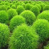 Keland Garten - Asien/Osteuropa Selten Ziergras Besenkraut Sommerzypresse Saatgut, robust, geeignet für Blumenbeeten, Garten, Blütezeit Juli bis Oktober