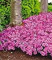 """BALDUR-Gartener Polster-Phlox """"McDaniels Cushion"""" 3 Pflanzen Phlox subulata winterhart von Baldur-Garten auf Du und dein Garten"""