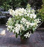 Rispenhortensie Levana® 60-80cm - Hydrangea paniculata