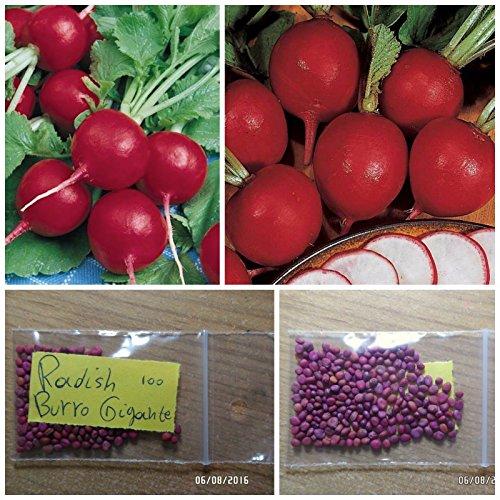 Roter Rettich '' Burro Gigante '' ~ 100 Top Quality Seeds - Firm und knackiges Fruchtfleisch - BIG