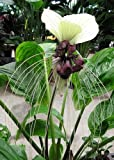 TROPICA - Flor murciélago gigante del Nepal (Tacca nevia white) - 10 semillas- Magia tropical
