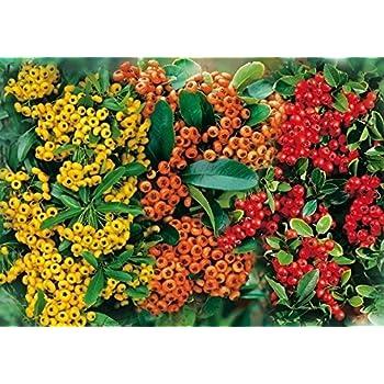 Feuerdorn Mischung Rot Gelb Und Orange 3 Immergrune Pflanzen Als