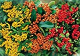 Feuerdorn Mischung Rot, Gelb und Orange – 3 immergrüne Pflanzen als Sichtschutz-Hecke - Heckenpflanze/Kletterpflanze von Garten Schlüter