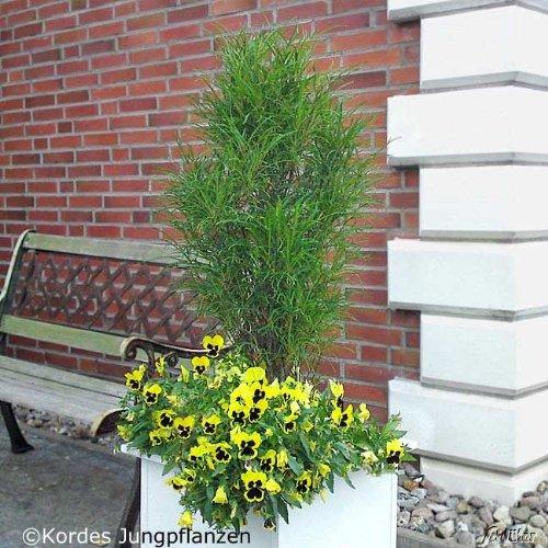 Farnblättriger Säulen-Faulbaum 'Fine Line®'