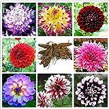 Pinkdose2018 heißer Verkauf mischte 8 Arten mehrjährige Blumen der Dahlie, 50 Samen, starke wohlriechende Garten-Blumen E3675