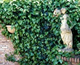 Irischer Efeu. 5 Pflanzen - zu dem Artikel bekommen Sie gratis ein Paar Handschuhe für die Gartenarbeit dazu