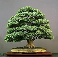 Floral Treasure Green Maple Bonsai Suitable Tree Seeds