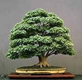 #10: Floral Treasure Green Maple Bonsai Suitable Tree Seeds