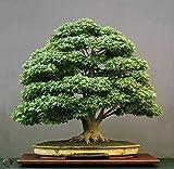 #8: Floral Treasure Green Maple Bonsai Suitable Tree Seeds