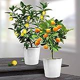Combinaison Citronnier/Oranger - 2 arbres