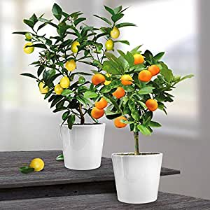 combinaison citronnier oranger 2 arbres jardin. Black Bedroom Furniture Sets. Home Design Ideas
