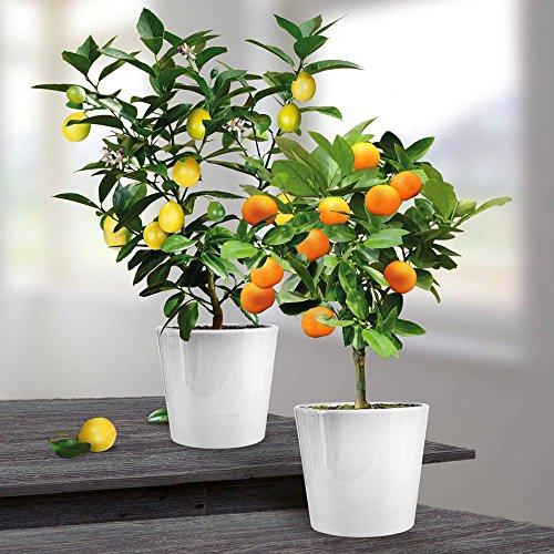 cultivez en pot citronnier et oranger. Black Bedroom Furniture Sets. Home Design Ideas