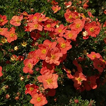 1 X POTENTILLA 'RED ROBIN' DECIDUOUS SHRUB HARDY GARDEN PLANT IN POT
