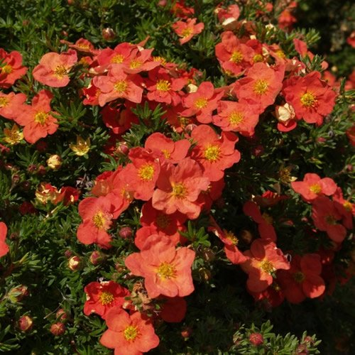 1-x-potentilla-red-robin-deciduous-shrub-hardy-garden-plant-in-pot
