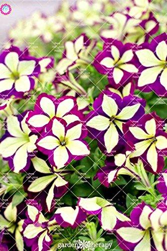 100pcs rares Couleur Petunia Graines Bonsaï Graines de fleurs vivaces Court Taille Jardin Fleurs Graines d'intérieur ou Ourdoor Pot 7 Plante