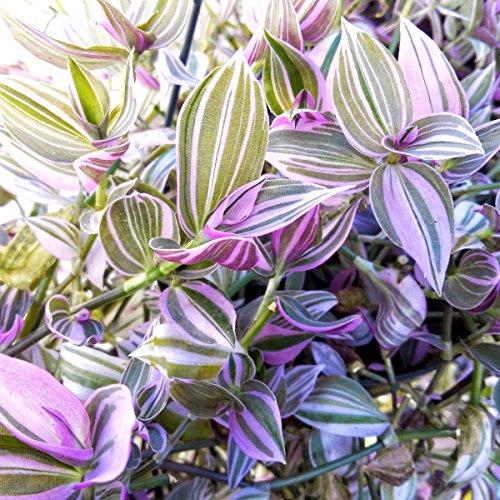 Generic Pflanzen in 2,5 & # 034; Topf: Tradescantia fluminensis - Ering Jude - Seltene Haus Pflanze