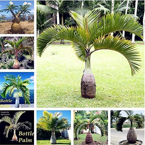 Shoopy Star 6: 30 Pcs/Paquet Bouteille Palmier graines vivaces Easy Grow Bonsaï Pots Tropical
