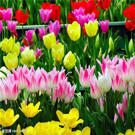 Graines Nouveau Arrivée 12 Couleur 1000 mix tulipe odorante Graines vivace Fleur pour Jardin en Bonsai, acheter 2 obtenir 10 Rose cadeau