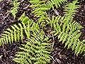 3x Roter Frauenfarn, Athyrium filix-femina 'Rotstiel' im 9 cm Topf als Sparpaket von Get you Green - Du und dein Garten