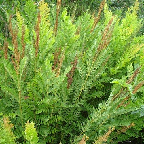 Plant World Seeds - Osmunda Regalis Seeds