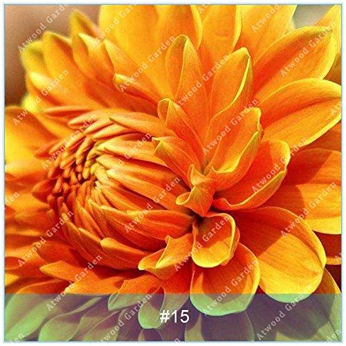 ZLKING Real Dahlia Bulbes à fleurs Bonsai bulbes de fleurs non Dahlia Graines vivace Plante en pot bulbeuse Racine Pour jardin 15
