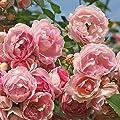 Klettermaxe Kletterrose, Jasmina, violett-rosa, 12 x 12 x 40 cm, 42-31 von W. Kordes' Söhne bei Du und dein Garten